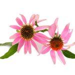 Аллергия на эхинацею: может ли быть, симптомы и что делать