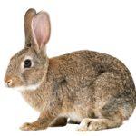 Аллергия на кролика: есть ли она, симптомы и что делать