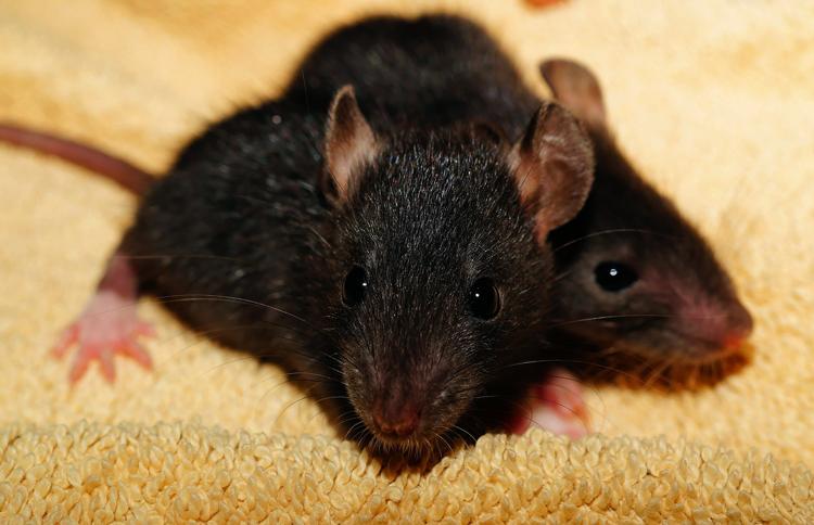 Мелкие крысы