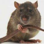 Аллергия на крыс: бывает ли она, симптомы и что делать