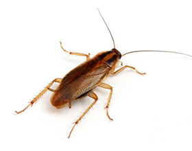 Аллергия на тараканов: бывает ли она, симптомы и что делать