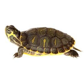 Аллергическая реакция на черепах