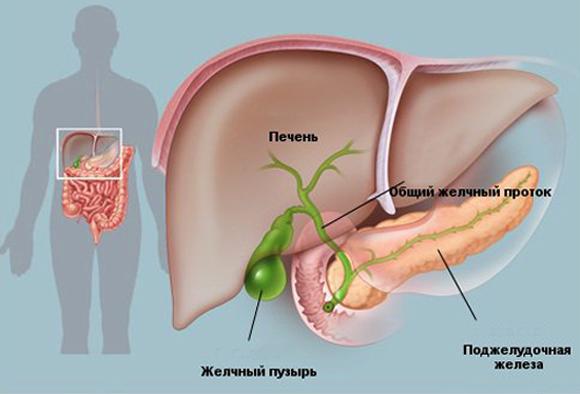Устройство органов в организме
