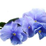 Аллергия на фиалки: может ли быть, симптомы и что делать